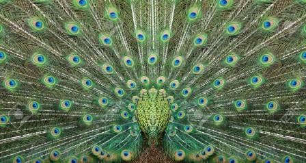 9180957-texture-of-beautiful-peacock-tail-spread-left-and-right-stock-photo